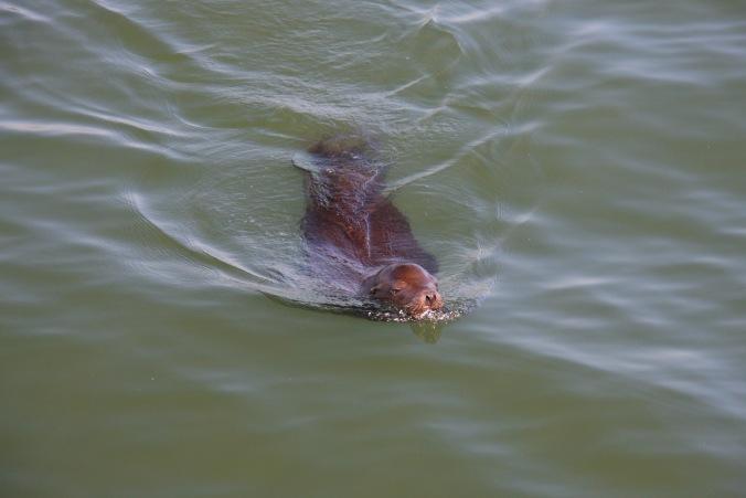 Sea Lion, San Francisco, California, United States
