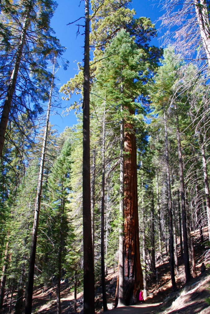 Human for scale...Mariposa Grove, Yosemite National Park, California, United States