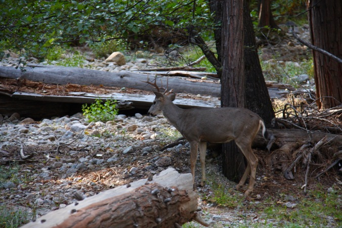 Deer, Yosemite National Park, California, United States