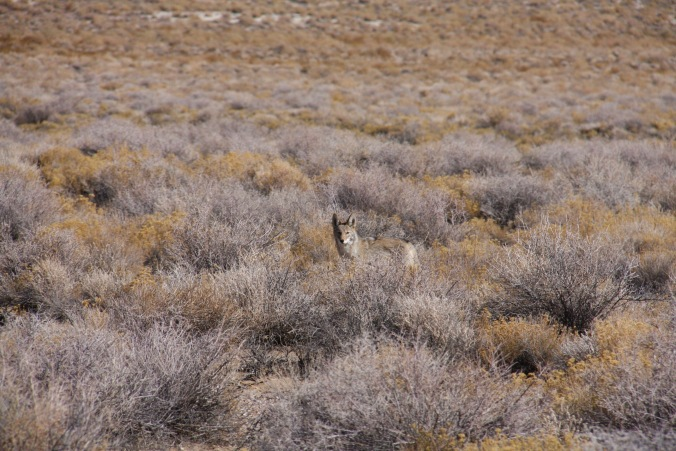 Coyote, Death Valley, California, United States