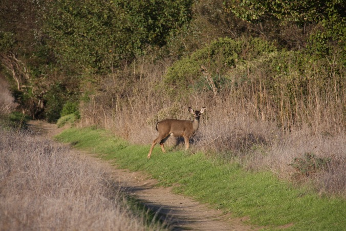 Deer near Molera Beach, Big Sur, California, United States