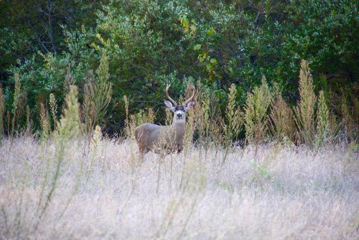 Deer near Molera Beach, Big Sur, California, United States