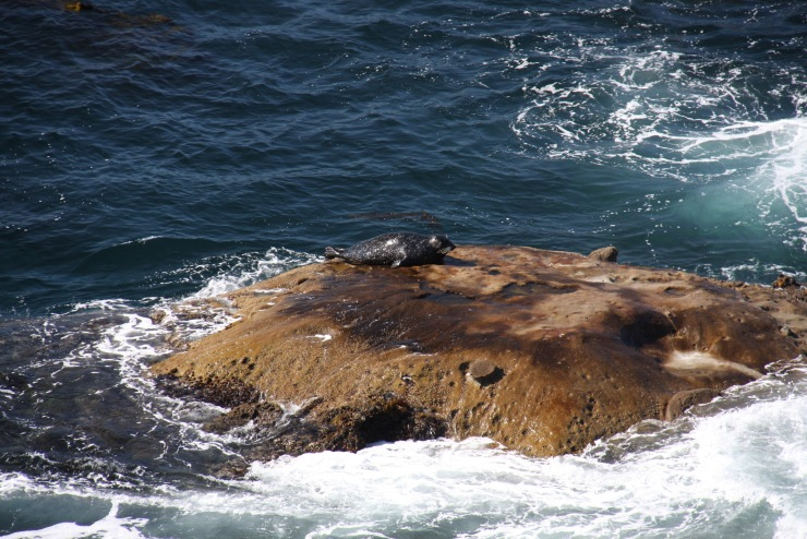 Seal, Point Lobos State Natural Reserve, California, United States