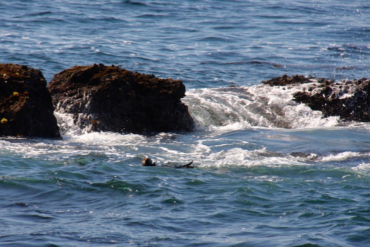 Sea Otter, Point Lobos State Natural Reserve, California, United States
