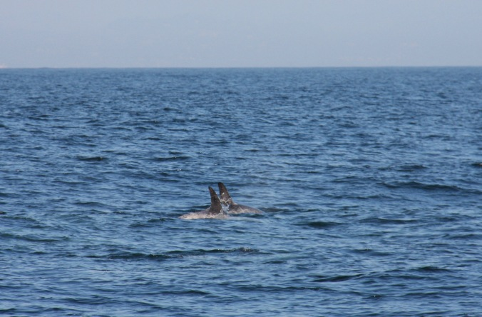 Risso's Dolphins, Monterey Bay, California, United States