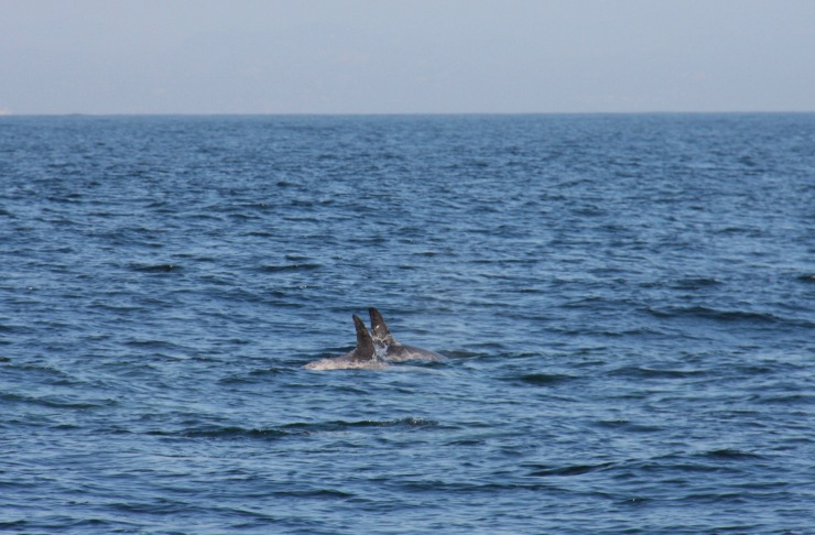 Risso's Dolphines, Monterey Bay, California, United States