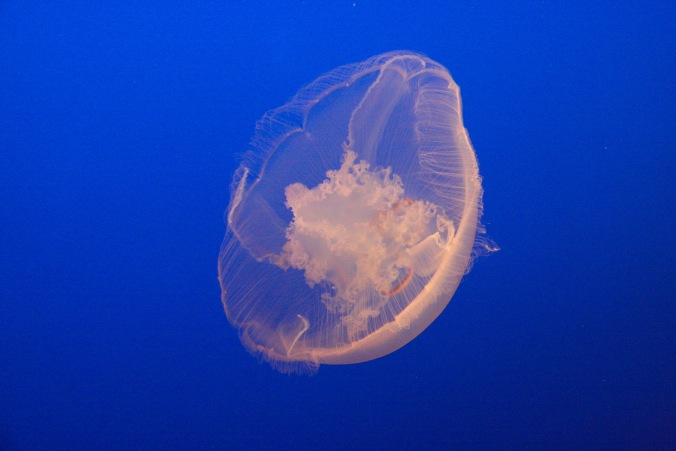 Jellyfish, Monterey Bay Aquarium, Monterey, California, United States