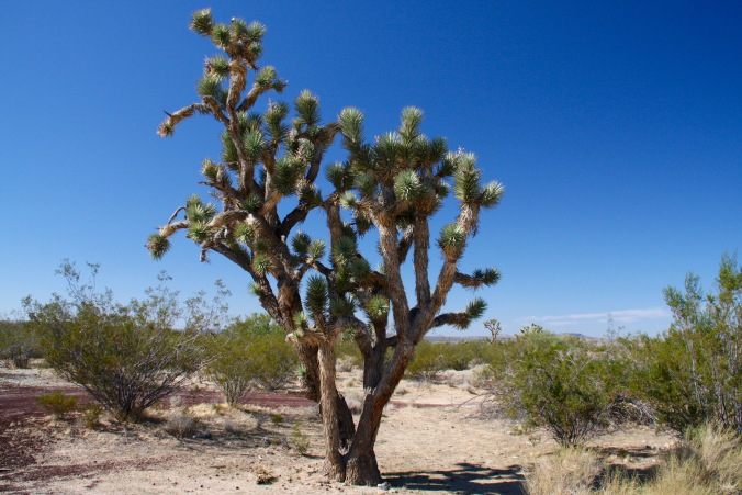 Joshua Tree, Mojave National Preserve, California, United States