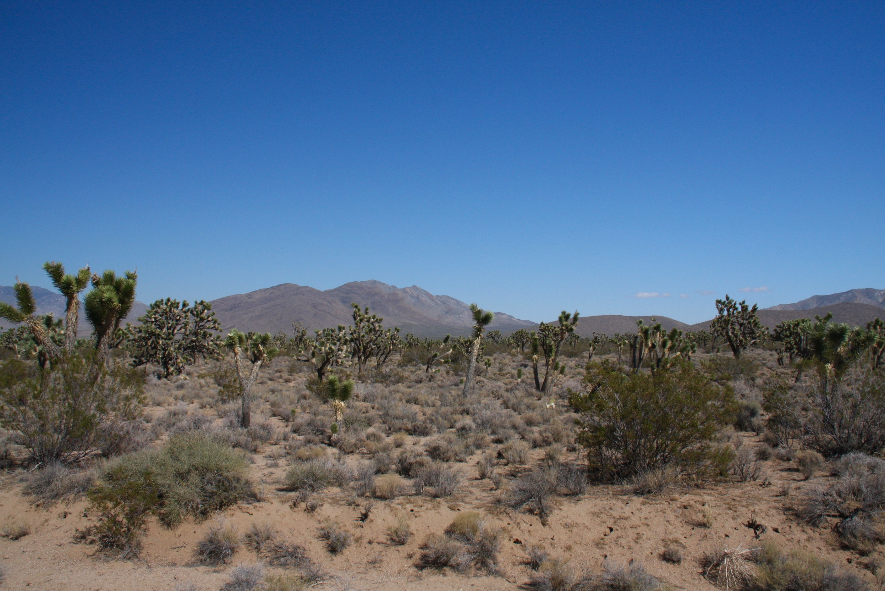 Mojave (CA) United States  City new picture : Joshua Trees, Mojave National Preserve, California, United States