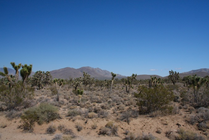 Joshua Trees, Mojave National Preserve, California, United States