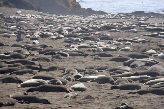 Seals, Pacific Coast, California, United States