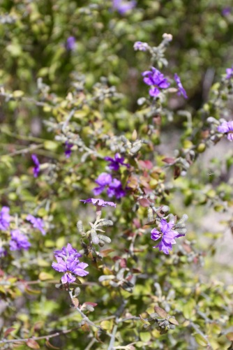 Wildflowers, Girraween National Park, Queensland, Australia