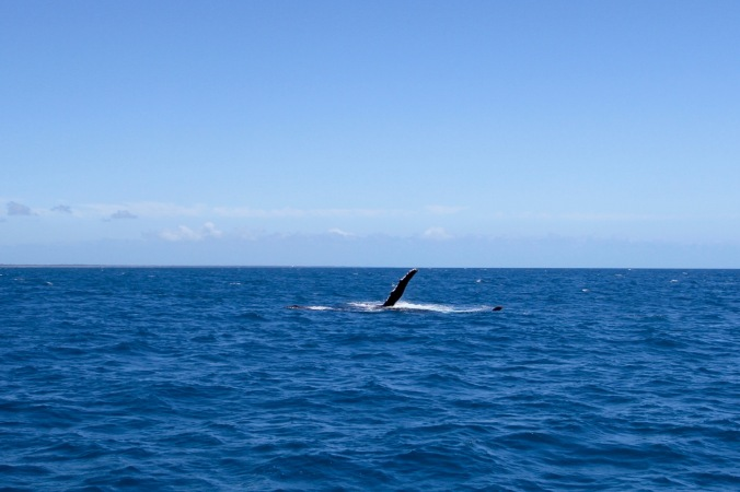 Humpback whales, Hervey Bay, Queensland, Australia