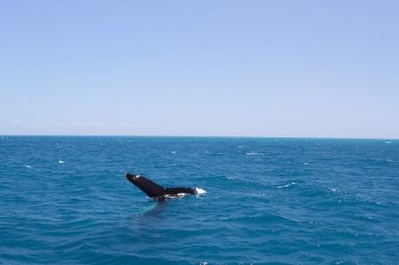 Humpback whales, Hervey Bay, Queensland, Australia