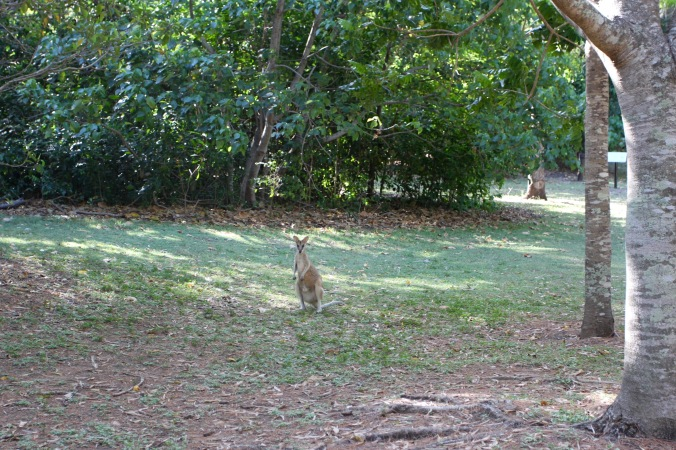 Kangaroo, Cape Hillsborough, Queensland, Australia