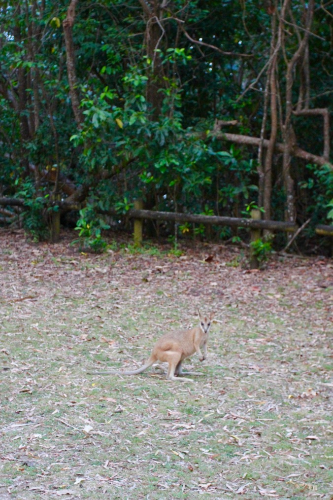 Wallaby, Cape Hillsborough, Queensland, Australia