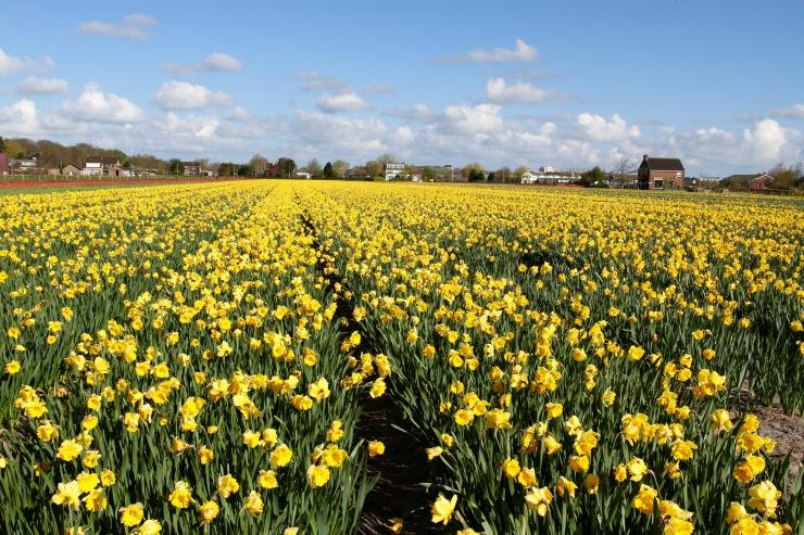 Flower fields near Leiden, Netherlands