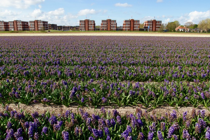 Flower fields near Leiden, Netherlands