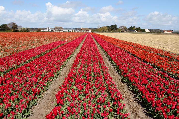 Tulip fields near Leiden, Netherlands