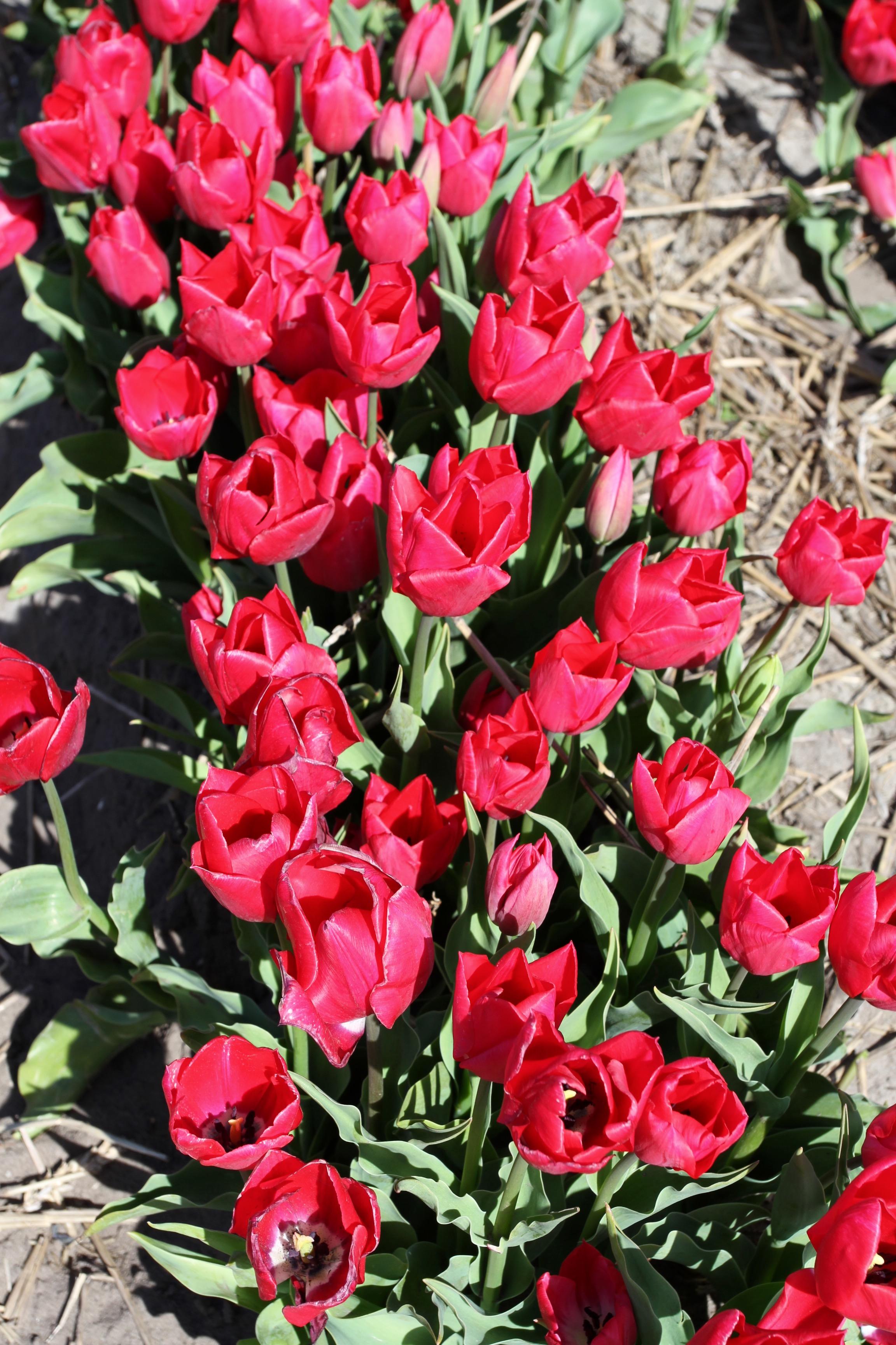 Tulip Mania Notesfromcamelidcountry