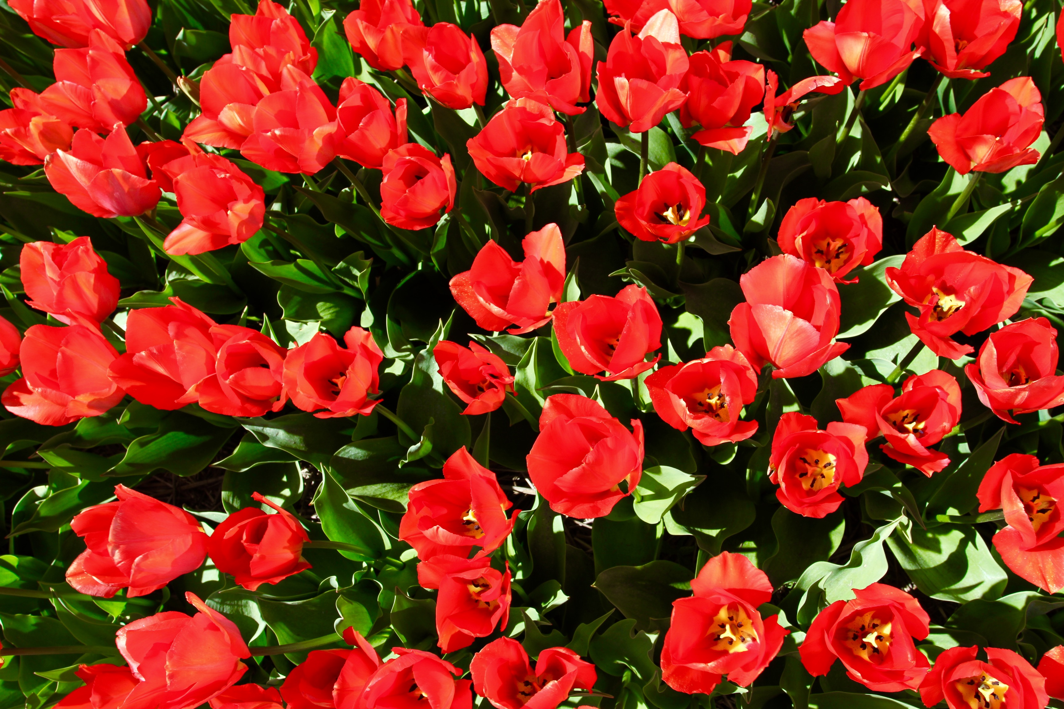 Tulip Mania: When Tulips Cost As Much As Houses