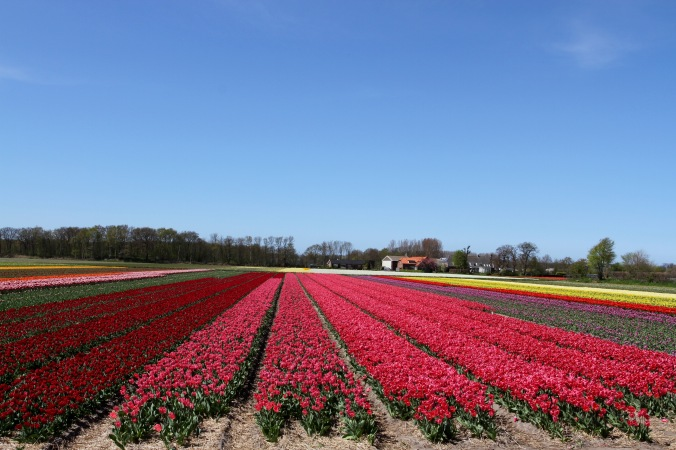 Tulip fields near Leiden, Netherlands