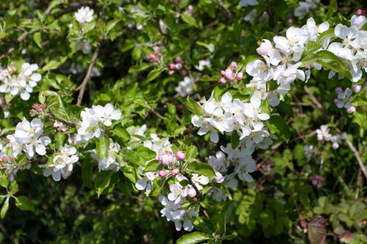 Wild flowers, Millom, Cumbria