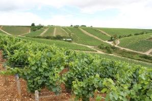 Vineyards, Chablis, Burgundy, France