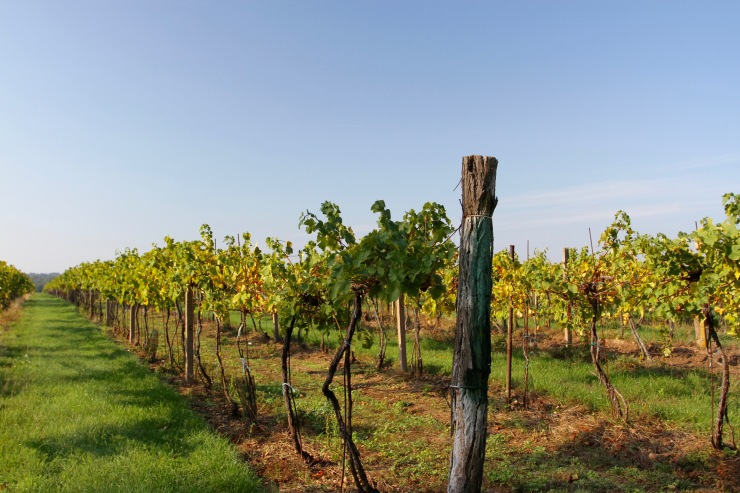 Vineyards near Valtice, Moravia, Czech Republic