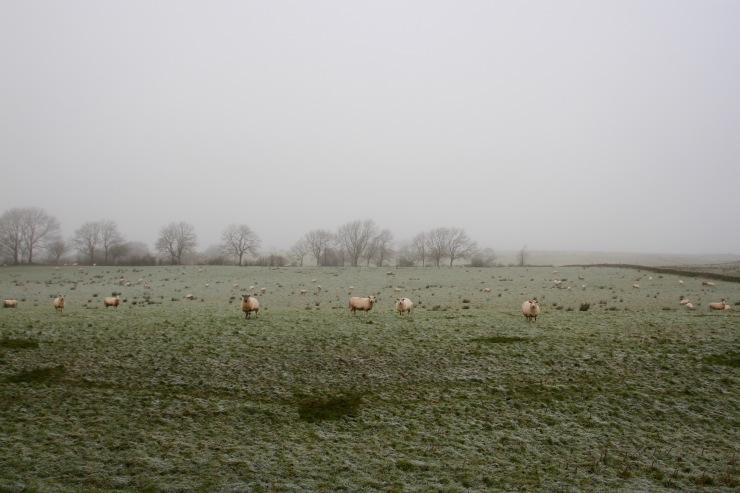 Sheep protecting Hadrian's Wall, Cumbria, England