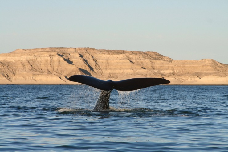 Whale watching, Patagonia, Argentina