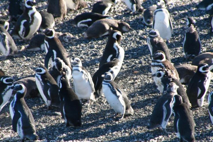 Magellanic penguins in the Beagle Channel, Tierra del Fuego, Argentina
