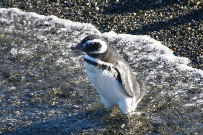 Magellanic penguins in the Beagle Channel, Tierra del Fuego, Argentina