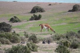 Punta Tombo, Patagonia, Argentina