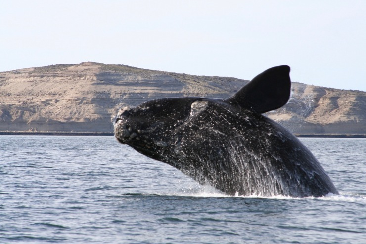 Southern Right Whales, Península Valdés, Patagonia, Argentina