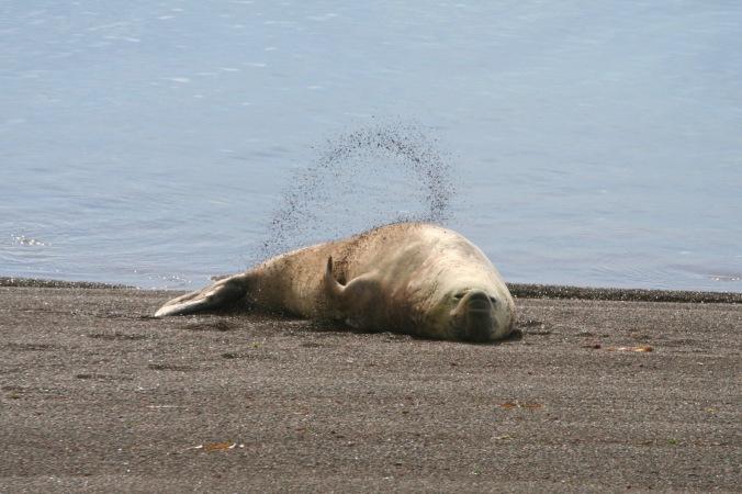 Elephant seals, Peninsula Valdes, Patagonia, Argentina