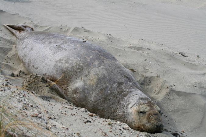 Elephant seal, Peninsula Valdes, Patagonia, Argentina