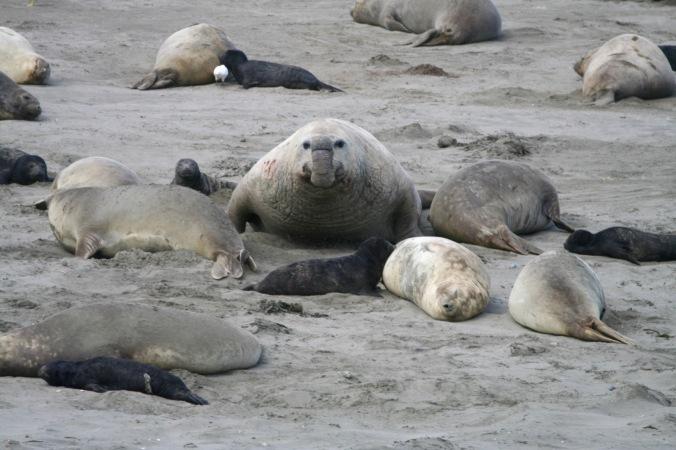 Elephant seals, Caleta Valdes, Peninsula Valdes, Patagonia, Argentina