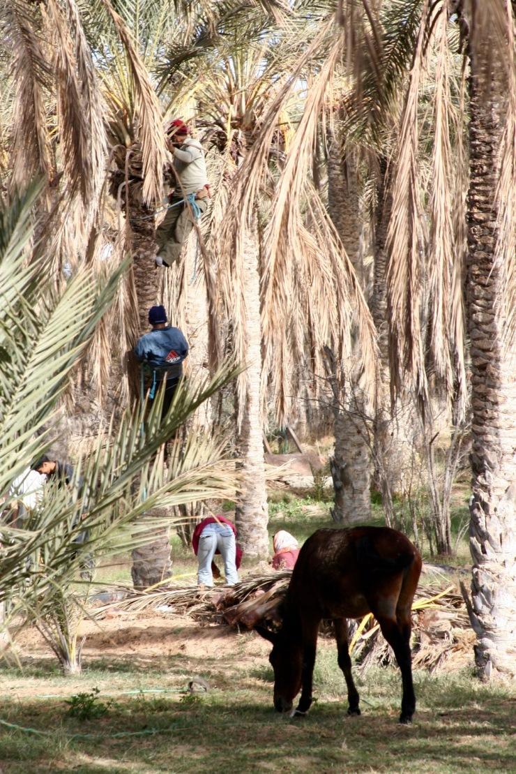 Date palms, Douz, Tunisia