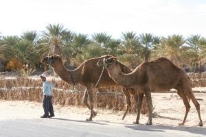 Camels in Douz, Tunisia