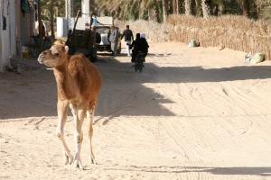 Young camel, Douz, Tunisia