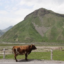 Cow, Georgian Military Highway, Kazbegi, Georgia
