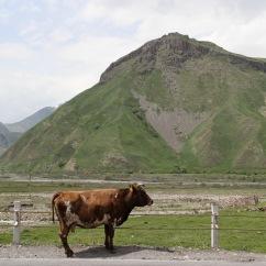 Cow, Georgian Military Highway, Kazbegi, Georgia