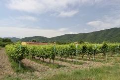 Vineyards, Kakheti, Georgia