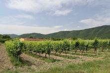 Vineyard, Kakheti, Georgia