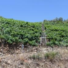 Vineyards, Ribeira Sacra, Galicia, Spain