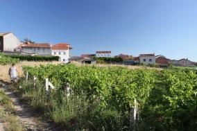 Vineyards, Cambados, Galicia, Spain