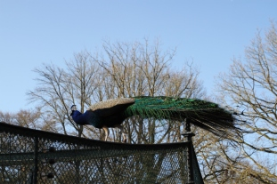 Peacock, Pfaueninsel or Peacock Island, Berlin, Germany