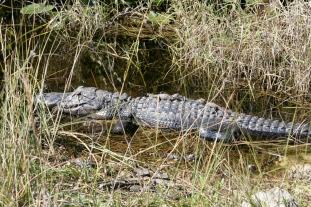 Aligator with young, Everglades National Park, Florida, United States