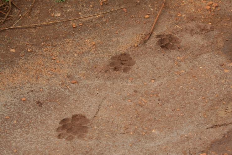 Leopard prints, Yala National Park, Sri Lanka